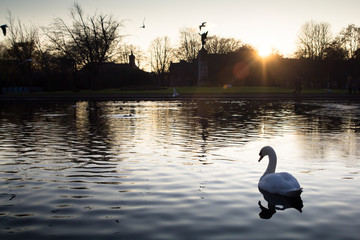 Foto op Aluminium Zwaan A single white swan on a pond near Glasgow, Scotland at sunset on a winters day.