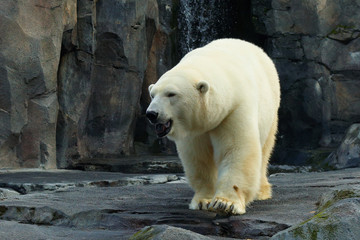 Polar bear at Alaska. Polar bears occur throughout the northern polar region of Alaska.