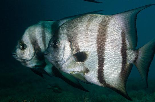 Atlantic spadefish swimming in blue water