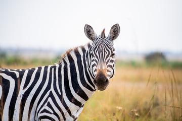 Poster Zebra zebra head