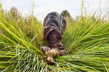 a hunting dog takes a downed grouse in its teeth