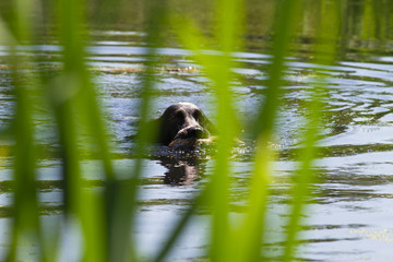 a hunting dog swims on a reedy lake with a shot duck in its mouth