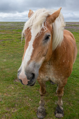 Horse on the salt meadows at the wadden sea on Juist, East Frisian Islands, Germany.