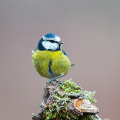 Eurasian blue tit (Cyanistes caeruleus) in the nature protection area Moenchbruch near Frankfurt, Germany.