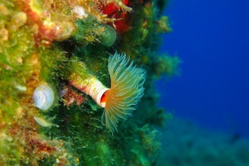 Feather duster worm in the blue sea. Diverse colorful underwater wall with the magnificent sea creature, deep blue background.Scuba diving with underwater wildlife on the coral reef.