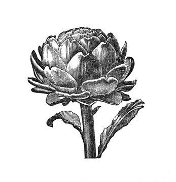 Artichoke - Antique engraved illustration from Brockhaus Konversations-Lexikon 1908