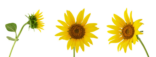 Poster Zonnebloem Three different sunflower flower on stem isolated on white background