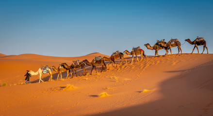 Berber and herd of camels in the Sahara at Sunrise, Merzouga, Morocco