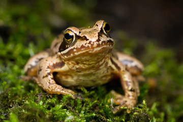 Foto op Plexiglas Kikker European grass frog (Rana temporaria) on forest floor close-up