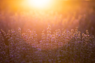 Türaufkleber Dunkelbraun Lavender flowers at sunset in a soft focus, pastel colors and blur background.