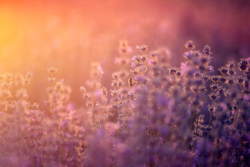 In de dag Crimson Lavender flowers at sunset in a soft focus, pastel colors and blur background.