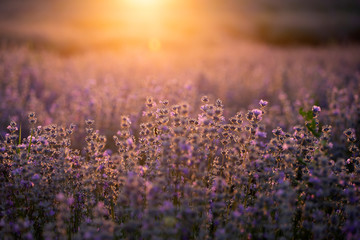 Fotobehang Lavendel Lavender flowers at sunset in a soft focus, pastel colors and blur background.