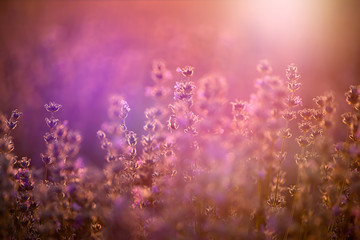 Deurstickers Candy roze Lavender flowers at sunset in a soft focus, pastel colors and blur background.