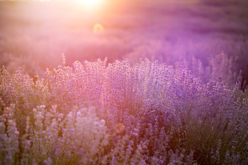 Acrylic Prints Candy pink Lavender flowers at sunset in a soft focus, pastel colors and blur background.