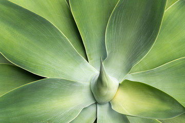 Leaves of foxtail agave Agave attenuata.