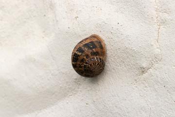 Garden snail aestivating on a wall.