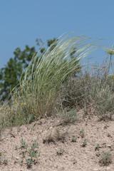 Stipa capillata rare as known as feather, needle, spear grass in steppe. Macro photo. Cappadocia, Turkey