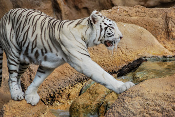 tiger in zoo, digital photo picture as a background