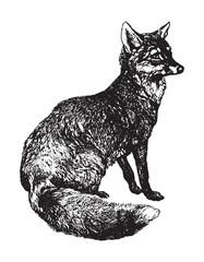 Red fox (Vulpes vulpes) / vintage illustration from Brockhaus Konversations-Lexikon 1908