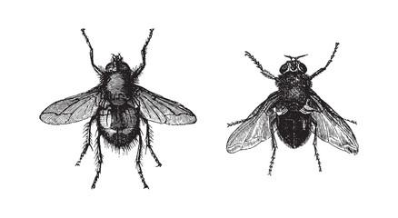 Fly - Tachina fera and Calliphora vomitoria / vintage illustration from Brockhaus Konversations-Lexikon 1908 Fotomurales