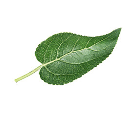 Apple leaf on a white background
