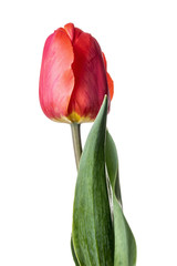 Single red tulip isolated on a white background