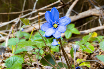Hepatica nobilis flowers in wild nature