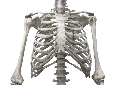 Thoracic spine, chest and ribs of bone with arms and shoulders isolated on a white background.