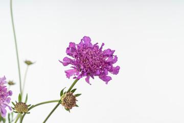 Flowers of scabious Scabiosa 'Vivid Violet'.
