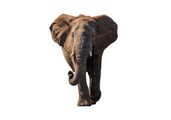 Front view African Elephant walk with sun shade ,  isolated.