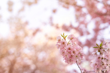 Beautiful tender tree blossom in sun light, floral background, spring blooming flowers