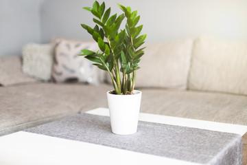 Obraz Zamiokulkas zamiolistny w salonie na stoliku w doniczce. Kwiat domowy - fototapety do salonu