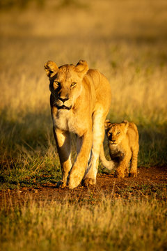 Lioness walks along gravel track with cub