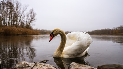 Foto op Plexiglas Zwaan A beautiful swan on a frozen lake