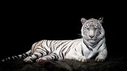 Fototapeten Tiger White tiger isolated in black