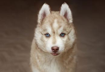 Beige blue-eyed husky puppy close-up on a dark background