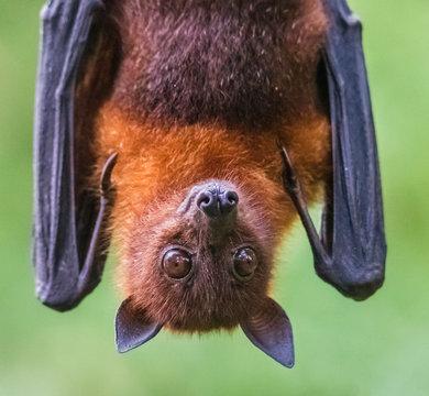 Lyle´s flying fox