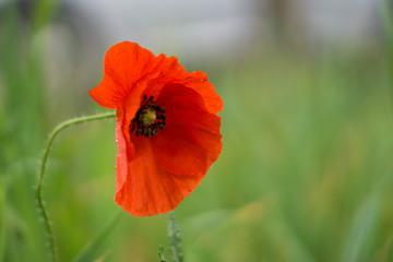 Foto op Plexiglas Klaprozen red poppy on green background