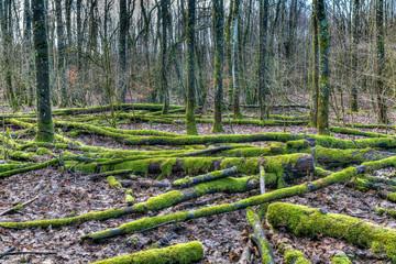 Bemoostes Totholz am Westerwaldsteig  beim Dreifelder Weiher im Westerwald