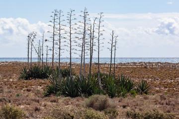 Desert landscape with agaves on the Mediterranean Sea background in the Cabo Gata - Cabo de Gata-Nijar Natural Park, Almeria, Spain
