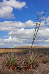 Desert landscape with flowering agaves in the Cabo Gata - Cabo de Gata-Nijar Natural Park, Almeria, Spain