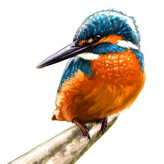 Kingfisher is sitting on a branch and waiting for his fish on background of summer foliage. Kingfisher halcyon from a branch  realistic illustration isolate.