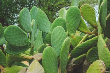 Photo sur Aluminium Cactus big green cactus in Mallorca, Spain