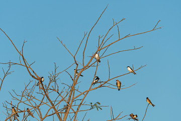 White Winged Swallows and Rough Winged Swallows in the Pantanal