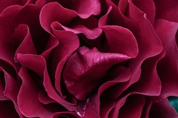 Pétalos de rosas rojas foto detalle