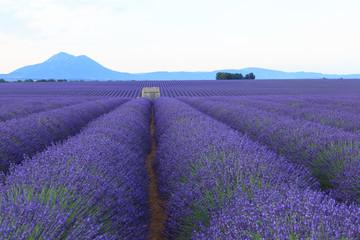 Foto op Plexiglas Lavendel Cabane isolée au milieu de champ de lavande - Provence - France