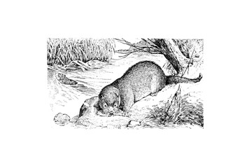 Otter - Vintage Engraved Illustration 1889