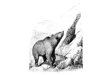 Brown Bear - Vintage Engraved Illustration 1889