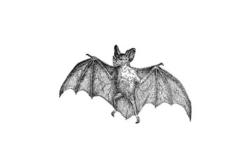 Vampire Bat - Vintage Engraved Illustration 1889