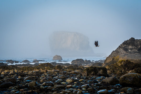 bald eagle flying at the coast